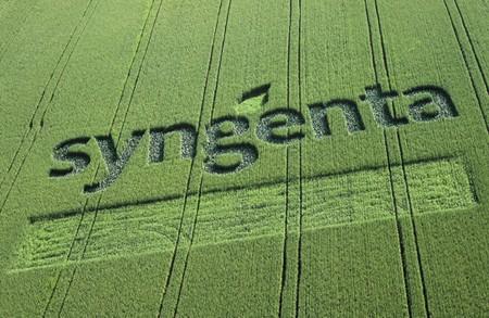 Семена кукурузы и семена подсолнечника. Качество под брендом Сингента