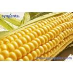 Выращивание сахарной кукурузы Выгодно!