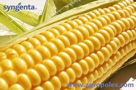 Выращивание сахарной кукурузы. Выгодно и вкусно