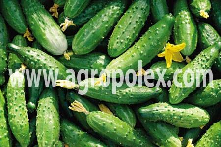 Агроволокно применение на огурце