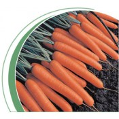 Морковь тип Нантский Темпо F1 (Tempo F1) Вилморин